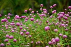 Pink Flower. In Thailand Stock Photo