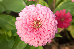 Pink flower (Top view of pink circle shape of flower) Royalty Free Stock Photos