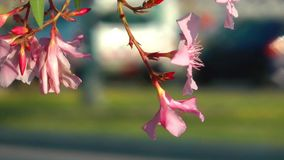 Pink Flower and the Traffic Stock Photography