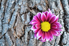 Pink flower on tree bark Royalty Free Stock Image
