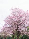 Pink flower tree blooming, pink trumpet tree. Pink flower tree blooming with white sky, pink trumpet tree Stock Photos