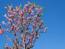 Pink flower on a tree with blue sky stock photo