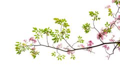 Pink flower and tree branch isolated on white background.  stock images