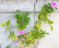 Pink flower. Tree with pink flowers growing out of the cracks of the wall Stock Photo