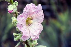 Pink flower of a tree mallow against a background of green grass in a garden. Pictured in the photo Pink flower of a tree mallow against a background of green Stock Photo
