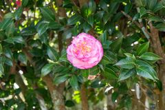 Pink flower on tree Stock Images