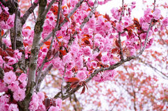 Pink flower tree Royalty Free Stock Images