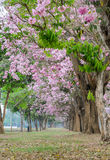 Pink flower tree tunnel of trumpet tree Stock Image