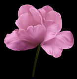 Pink flower tulip on the black isolated background with clipping path. Close-up.  no shadows. Shot of White Colored. Nature Royalty Free Stock Photo