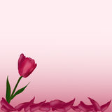 Pink flower Tulip petals on a  background. Pink flower Tulip petals on a delicate background Royalty Free Stock Images