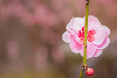 Pink flower ume blossoms. Stock Photo