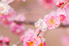 Pink flower ume blossoms. Royalty Free Stock Photos