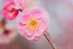 Pink flower ume blossoms. Royalty Free Stock Images