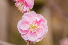 Pink flower ume blossoms. Royalty Free Stock Image