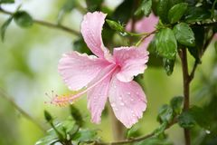 Pink flower under the rain stock image