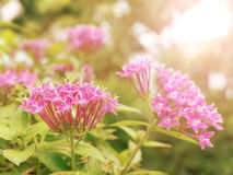 Pink flower under sunlight in morning Stock Images
