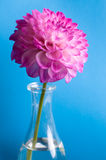 Pink flower in vase on blue Royalty Free Stock Photo