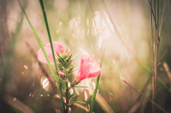 Pink flower vintage Stock Photography
