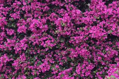 Flower wall of bougainvillea royalty free stock photos
