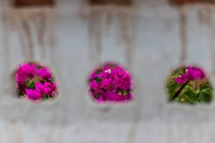 Pink flower from wall holes royalty free stock photography