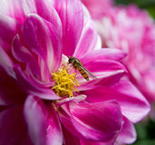Pink flower with wasp Royalty Free Stock Images