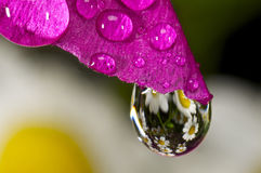 Pink flower with a water droplet.  Royalty Free Stock Photos
