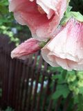 Pink flower, water droplet stock images