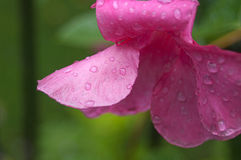 Pink Flower with Water Drops Royalty Free Stock Photography