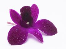 Pink flower with water drops. In white background Stock Photos