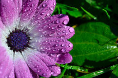 Pink flower with water drops Stock Photos