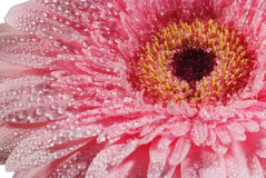 Pink flower with water drops closeup. Dew drops on the beautiful flower Royalty Free Stock Photo
