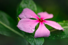 Pink flower with water drops Stock Photography