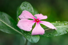Pink flower with water drops Royalty Free Stock Image