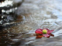 Pink flower on water. A pink flower floating in fountain water with reflection of sun rays on the background Royalty Free Stock Photos