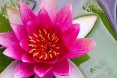 Pink flower of water lily Stock Photos