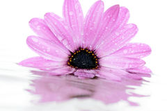 Pink flower on water. Stock Photos