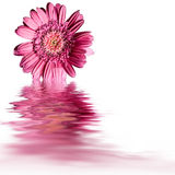 Pink flower water reflection Royalty Free Stock Images