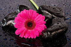 Pink flower on wet,black rocks Royalty Free Stock Image