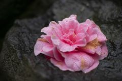 Beautiful pink flower with wet dew drops. stock photos