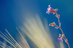 Pink flower in a wheatfield. With blue background Royalty Free Stock Image