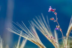 Pink flower in a wheatfield. With blue background Stock Photo