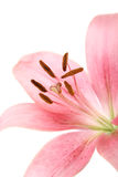 Pink flower on white Stock Photo
