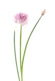 Pink flower on white Stock Images
