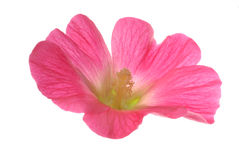 Pink flower on white Royalty Free Stock Photography