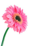 Pink flower on white Royalty Free Stock Images