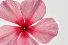 Pink flower on white background stock photography