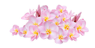 Pink flower  on white background Royalty Free Stock Photography