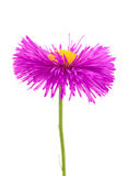 Pink flower on white background Royalty Free Stock Photos