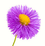Pink flower on white background Stock Image