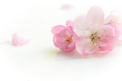 Pink flower on white background Stock Images
